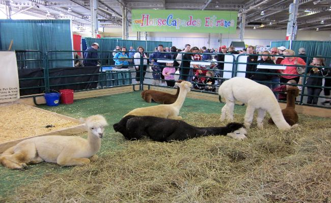 Canadian National Exhibition - Farm Animals