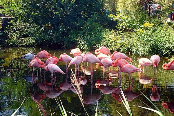 Toronto Zoo - American Flamingo