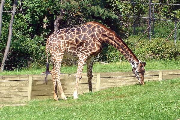 Toronto Zoo - Masai giraffe