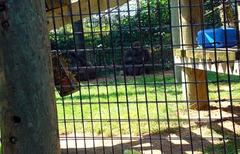 Toronto Zoo - Western lowland gorilla