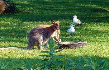 Toronto Zoo - Kangaroo