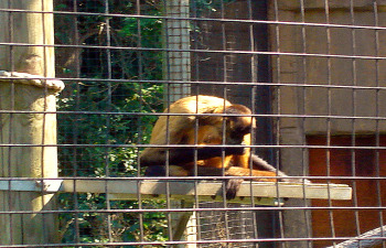 Toronto Zoo - Spider monkey