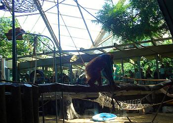 Toronto Zoo - Orangutan