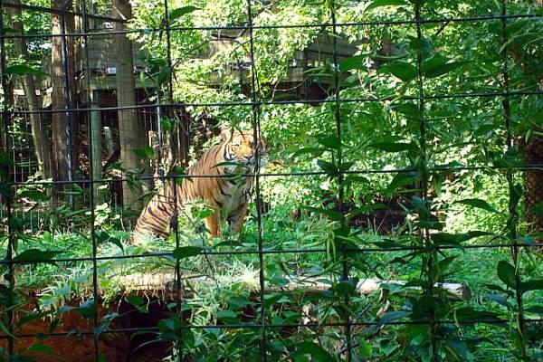 Toronto Zoo - Sumatran Tiger