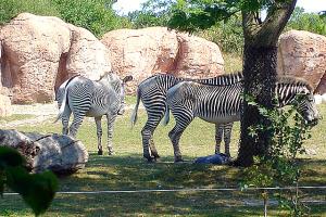 Toronto Zoo - Zebra